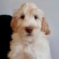Labradoodle - Cobberdog Puppy in Germany from UK