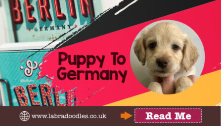 Labradoodle Puppy to Germany