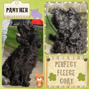 Large Mini Black ASD Australian Labradoodle