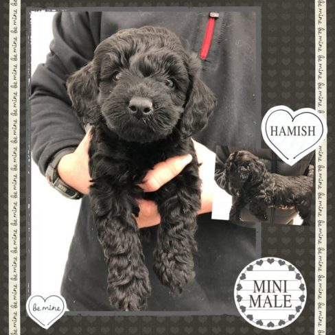 Large Miniature Black Labradoodle Puppy