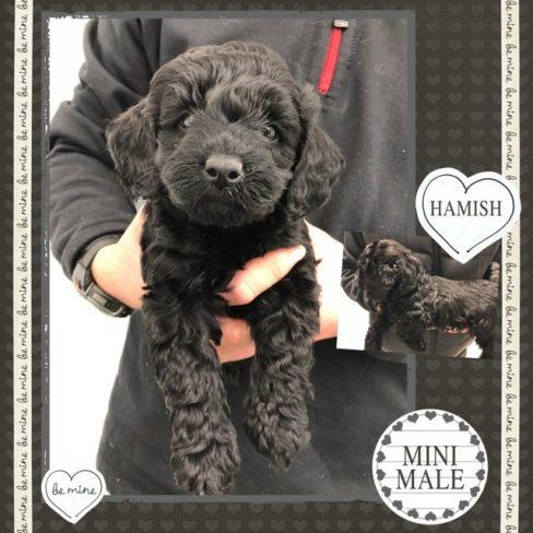 Large Miniature Black Labradoodle Puppy