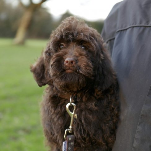 large miniature chocolate Labradoodle