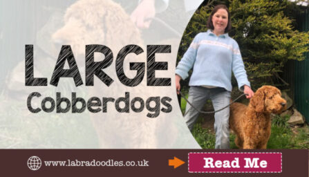 Larry the Large Cobberdog from doodleDogs UK