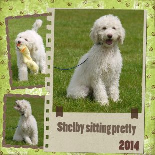 Shelby is a male curly fleece asd labradoodle with light cream colouring and rose pigmentation Playing in the Park