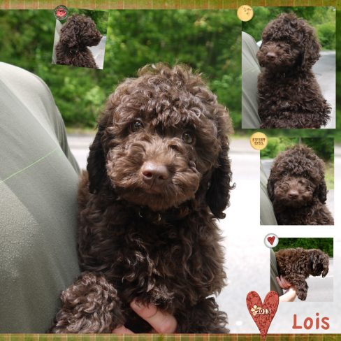 Curly Chocolate Australian Labradoodle Puppy