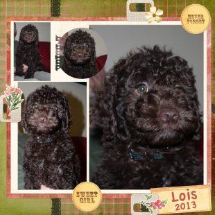 Dark Chocolate Australian Labradoodle Puppy