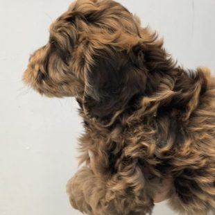 Large Miniature Chocolate Merle Cobberdog