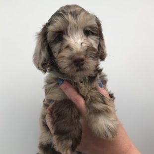 Merle Labradoodle from doodleDogs UK