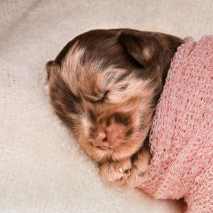 Merle Cobberdog - Labradoodle Puppy for Sale - 2021+