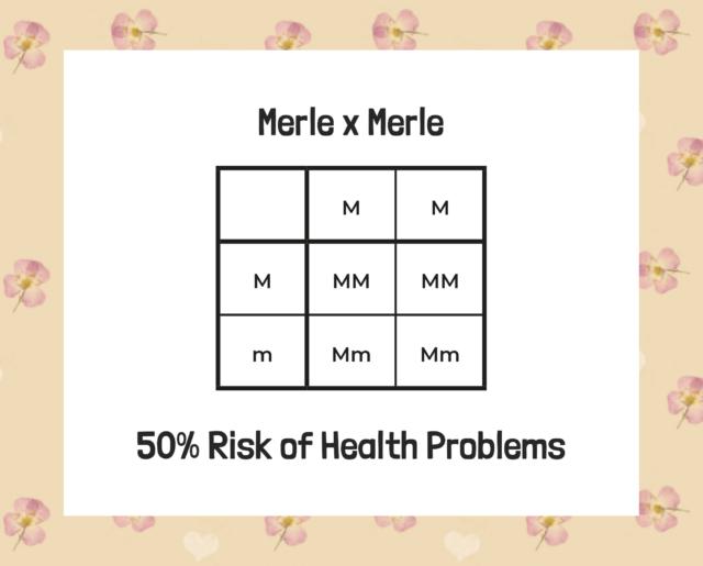 double merle labradoodle genes diagram