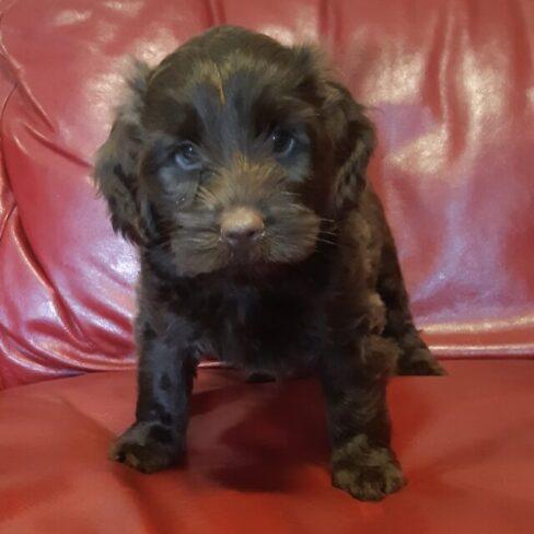 Merlin - Black Australian Labradoodle Puppy on sofa