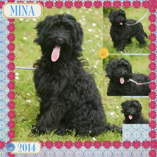 Black ASD Australian Labradoodle with Curly Fleece Coat