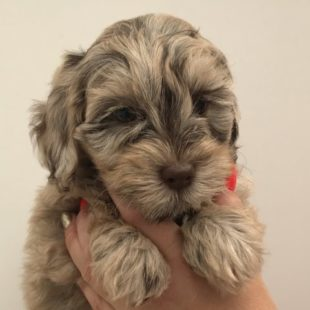 Mini Chocolate Merle Labradoodle - Cobberdog type from doodleDogs in the UK.