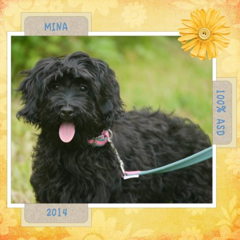 Mina is a mini female fleece ASD Australian Labradoodle.