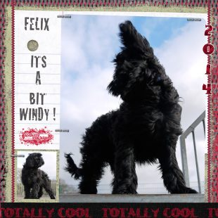 Miniature Black Fleece ASD Australian Labradoodle Felix