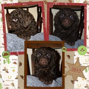 Chocolate Australian Service Dog type of Labradoodle