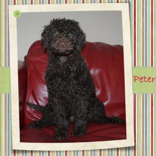 Peter - Chocolate Labradoodle Puppy