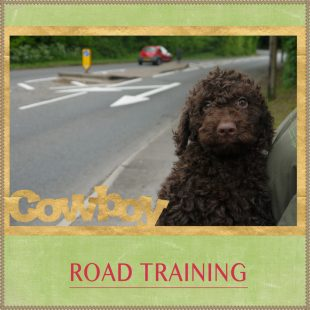 Peter's Road Training - Chocolate Australian Labradoodle