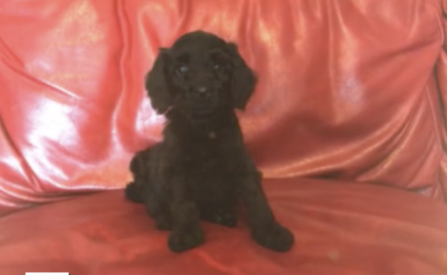 Preston - Black Labradoodle