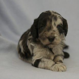 Rare Black Chocolate Merle Labradoodle Puppy