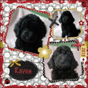 Raven is a black labradoodle puppy. Her breed is 100% ASD Australian Labradoodle, also known as Australian Cobberdog.