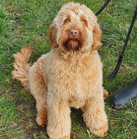 Red Apricot Australian Cobberdog from doodleDogs UK, Rosy