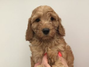 Red Australian Labradoodle Puppy