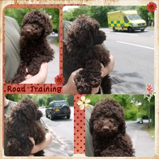Road Training with Lois - Chocolate Labradoodle Puppy