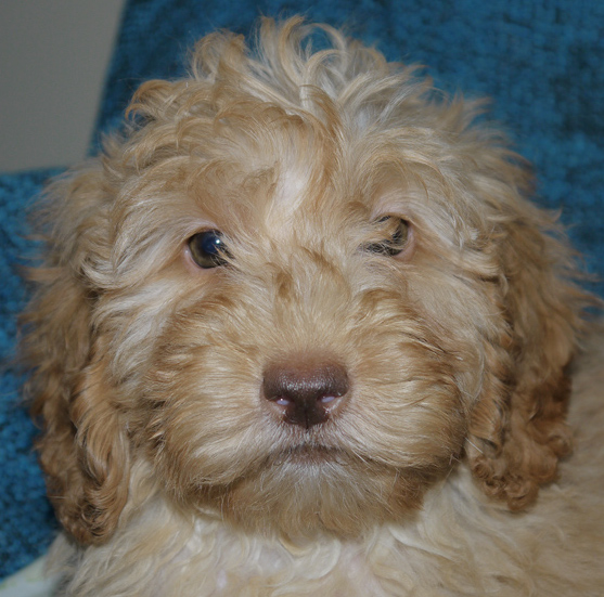rose nose Australian labradoodle puppy