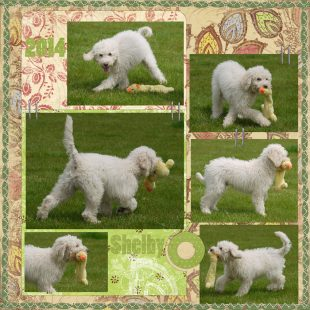 Mini White Australian Labradoodle with a Soft Toy in the Park