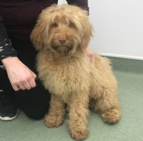 Small Medium Apricot Cobberdog type of Labradoodle with Rose Nose
