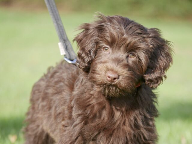 mini chocolate labradoodle puppy fleece coat