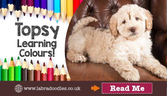 Colour Training for Labradoodle