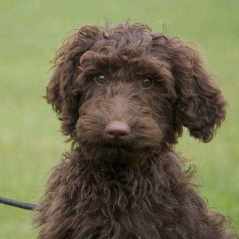 Trained Chocolate Miniature Australian Labradoodle