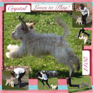 White Australian Labradoodle - Crystal playing in the park with Grace