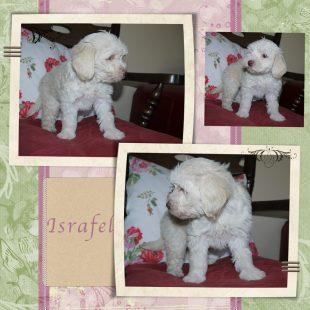 White Australian Labradoodle Puppy