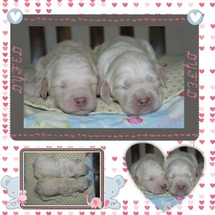 White Australian Labradoodle Puppies from DoodleDogs UK