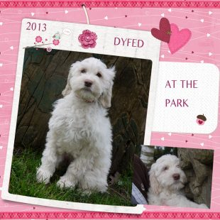 White Australian Labradoodle Puppy at the Park