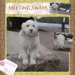 White Australian Labradoodle Puppy - Dyfed playing with swans