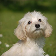 White Australian Labradoodle Puppy from doodleDogs in the Uk