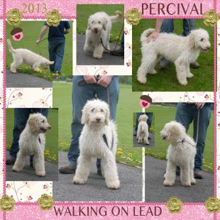 White Australian Labradoodle Puppy - Percival