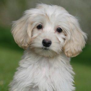 "Acorn is a 100% Australian Service Dog ""ASD"" type of Australian Labradoodle puppy."