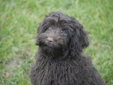 Zafa is a Chocolate Labradoodle from Doodledogs. Curly Fleece and Rose Nose. Her breed is pure Australian Labradoodle, also known as Australian Cobberdog.