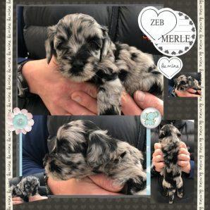 Large Miniature Black Merle Labradoodle - Cobberdog